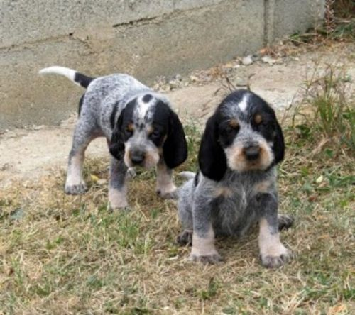 griffon bleu de gascogne puppies