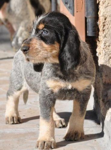 griffon bleu de gascogne puppy