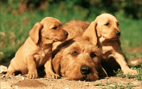 griffon fauve de bretagne puppies
