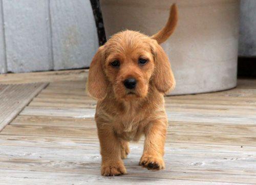 griffon fauve de bretagne puppy