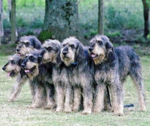 griffon nivernais dogs