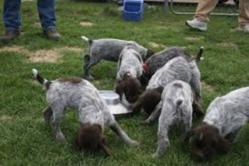 griffon nivernais puppies