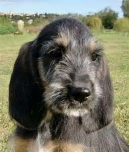 griffon nivernais puppy
