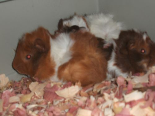 Guinea Pig Rodents for sale in Saginaw, MI, USA. price 20USD