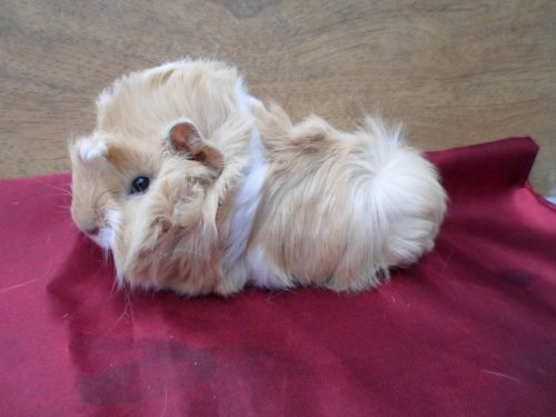 Guinea Pig Rodents for sale in Chicopee, MA, USA. price 30USD