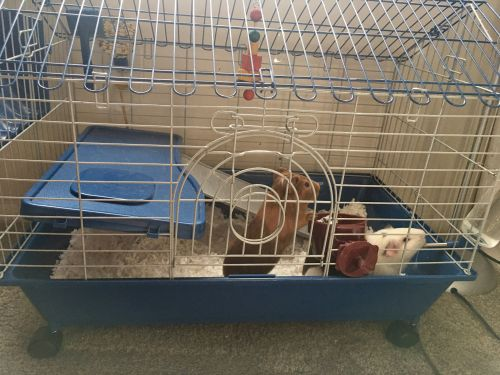 Guinea Pig Rodents for sale in Silver Spring, MD, USA. price 75USD