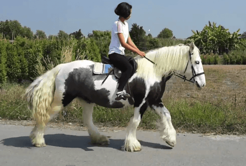 Gypsy Vanner Horses for sale in San Francisco, San Antonio, TX 78201, USA. price 450USD