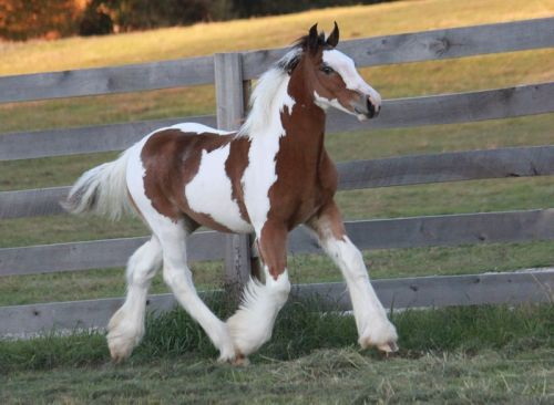 Gypsy Vanner Horses for sale in San Francisco, CA, USA. price -USD