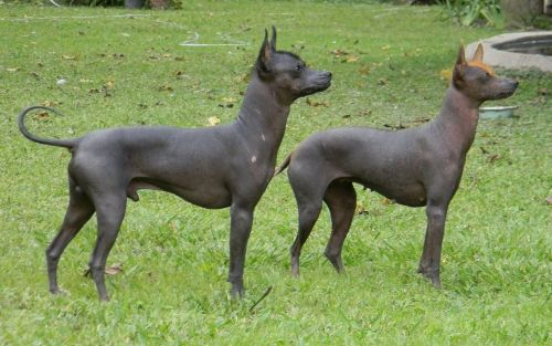 hairless khala dogs
