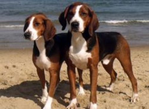 hamiltonstovare dogs
