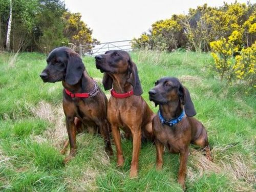 hanover hound dogs