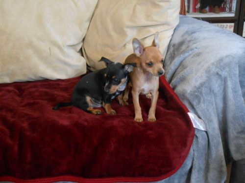 harlequin pinscher dogs
