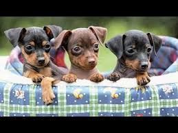 harlequin pinscher puppies