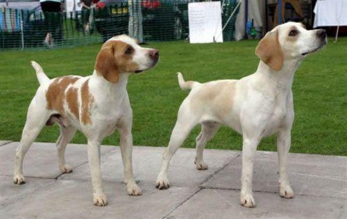 harrier dogs