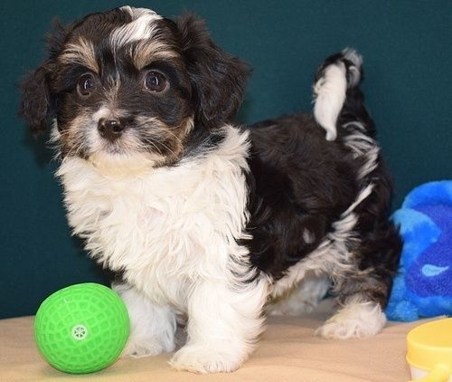 Havanese Puppies for sale in Seattle, WA, USA. price 650USD