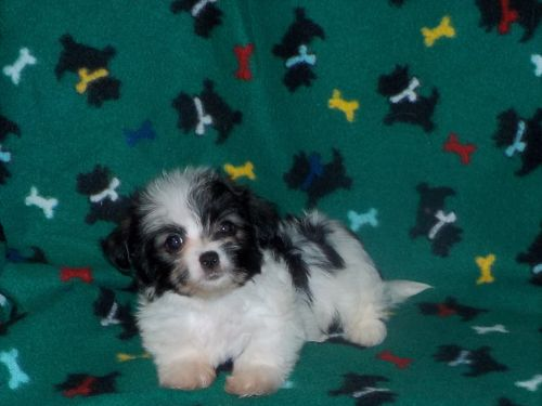 Havanese Puppies for sale in San Antonio, TX, USA. price 450USD