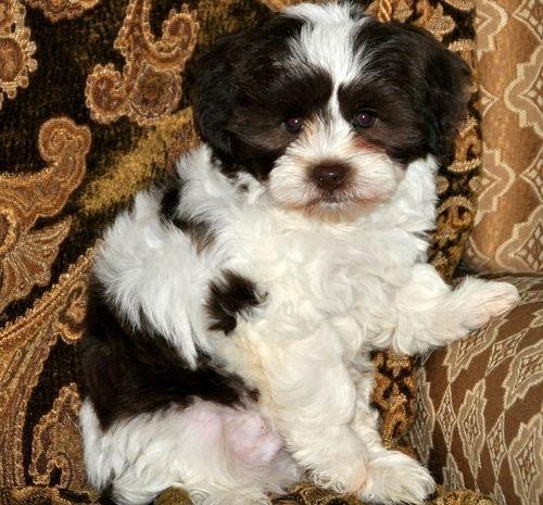 Craigslist Havanese Puppies For Sale | Bozeman, MT #208553 | Petzlover