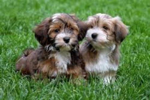 havanese puppies