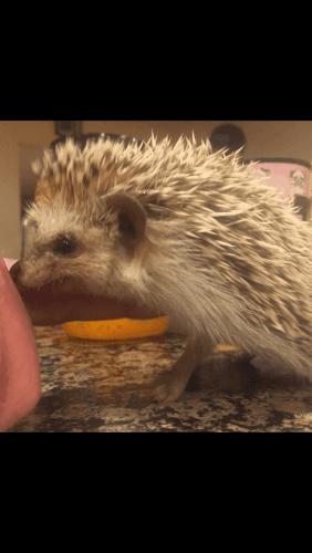 Hedgehog Animals for sale in Escondido, CA, USA. price 300USD