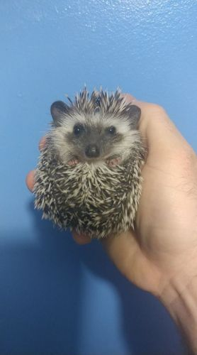 Hedgehog Animals for sale in Lawrence, NY 11559, USA. price 200USD