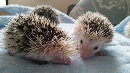 Hedgehog Rodents for sale in Placerville, CA 95667, USA. price -USD