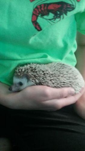 Hedgehog Animals for sale in Gulf Shores, AL, USA. price 200USD