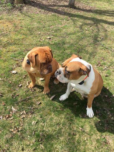 hermes bulldogge puppies