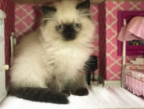 Himalayan Cats for sale in Hutto, TX 78634, USA. price 850USD
