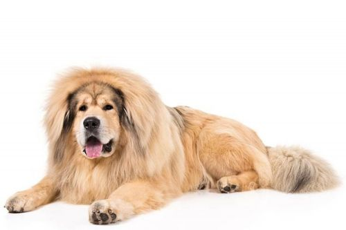 himalayan mastiff dog
