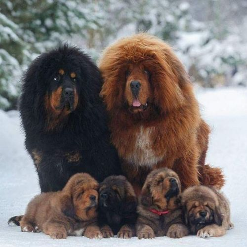 himalayan mastiff dogs