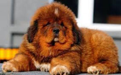 himalayan mastiff puppy
