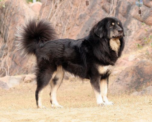 himalayan sheepdog dog