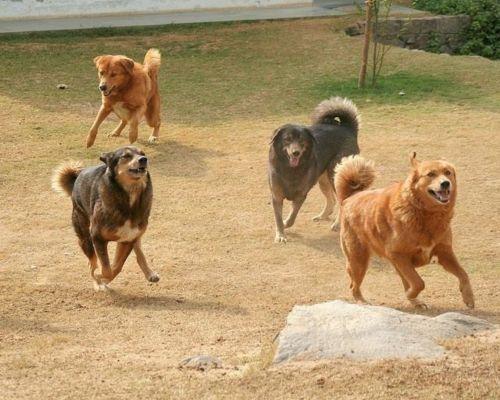 himalayan sheepdog dogs