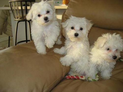 himalayan sheepdog puppies