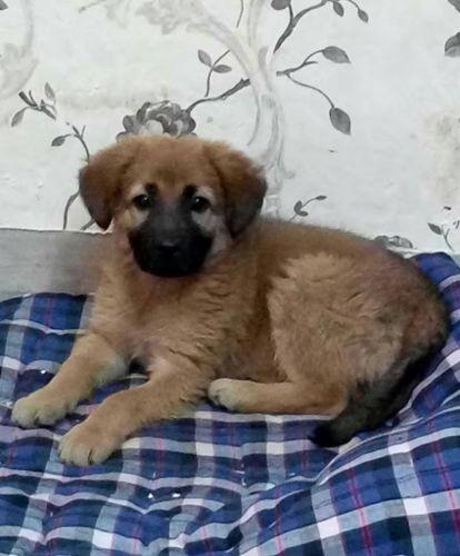 himalayan sheepdog puppy