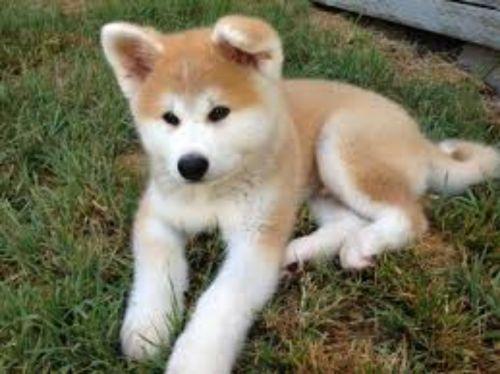 hokkaido puppy