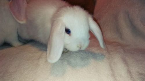 Holland Lop Rabbits for sale in Zebulon, NC 27597, USA. price 85USD