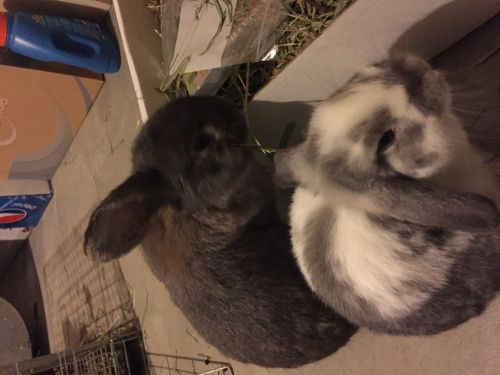 Holland Lop Rabbits for sale in Erie, PA, USA. price 50USD