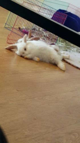 Holland Lop Rabbits for sale in Charlotte, NC, USA. price 50USD