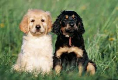 hovawart puppies