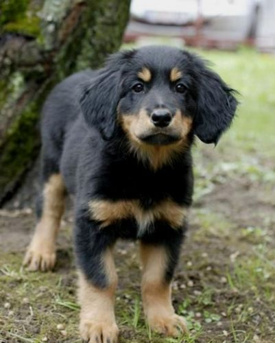 hovawart puppy