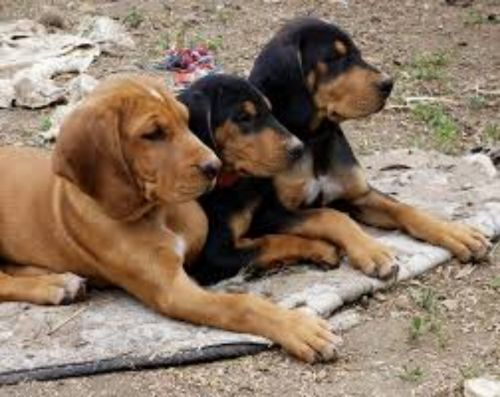 hungarian hound puppies