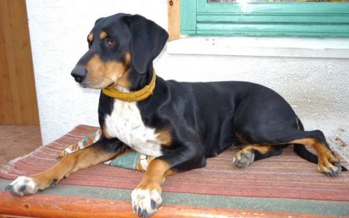 hungarian hound puppy