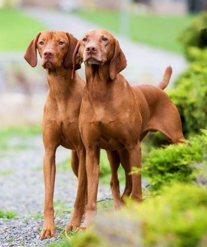 hungarian vizsla dogs