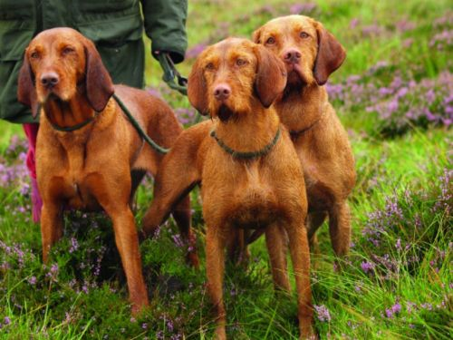hungarian wirehaired vizsla dogs