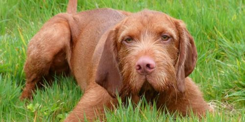 hungarian wirehaired vizsla puppy