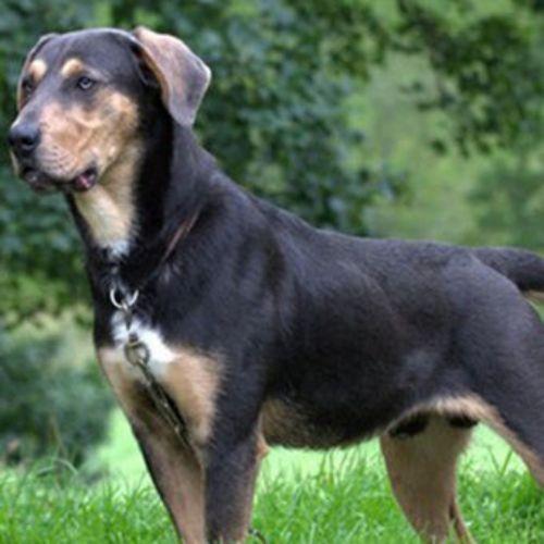 huntaway dog