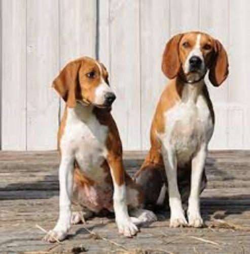 hygenhund dogs