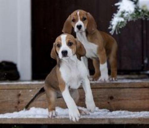 hygenhund puppies