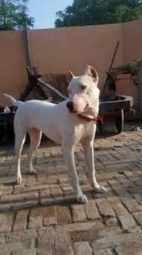 indian bull terrier